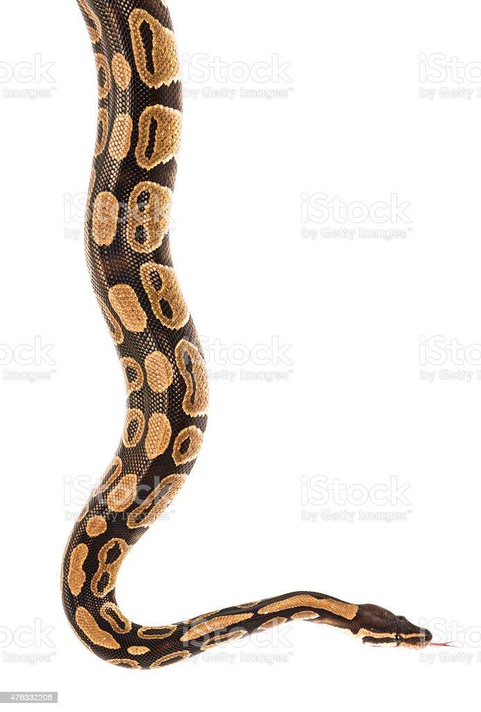 Pitón real serpiente Aislado en blanco con trazado de recorte - foto de stock