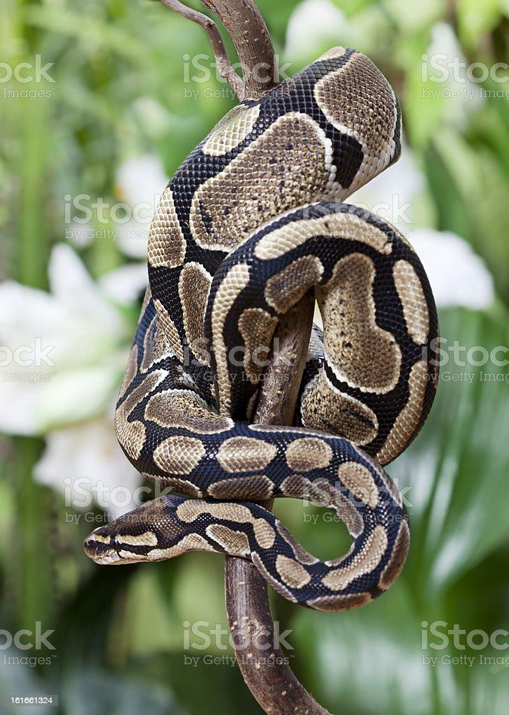 Royal Python snake stock photo