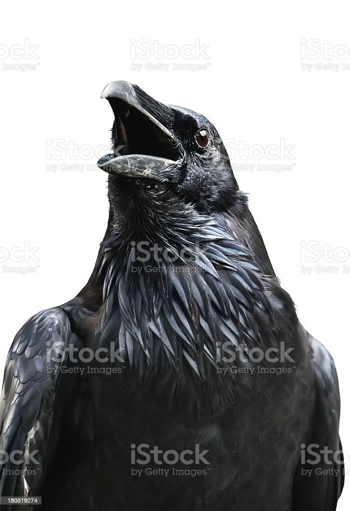 Royal raven isolated on white background, Tower of London (UK) stock photo