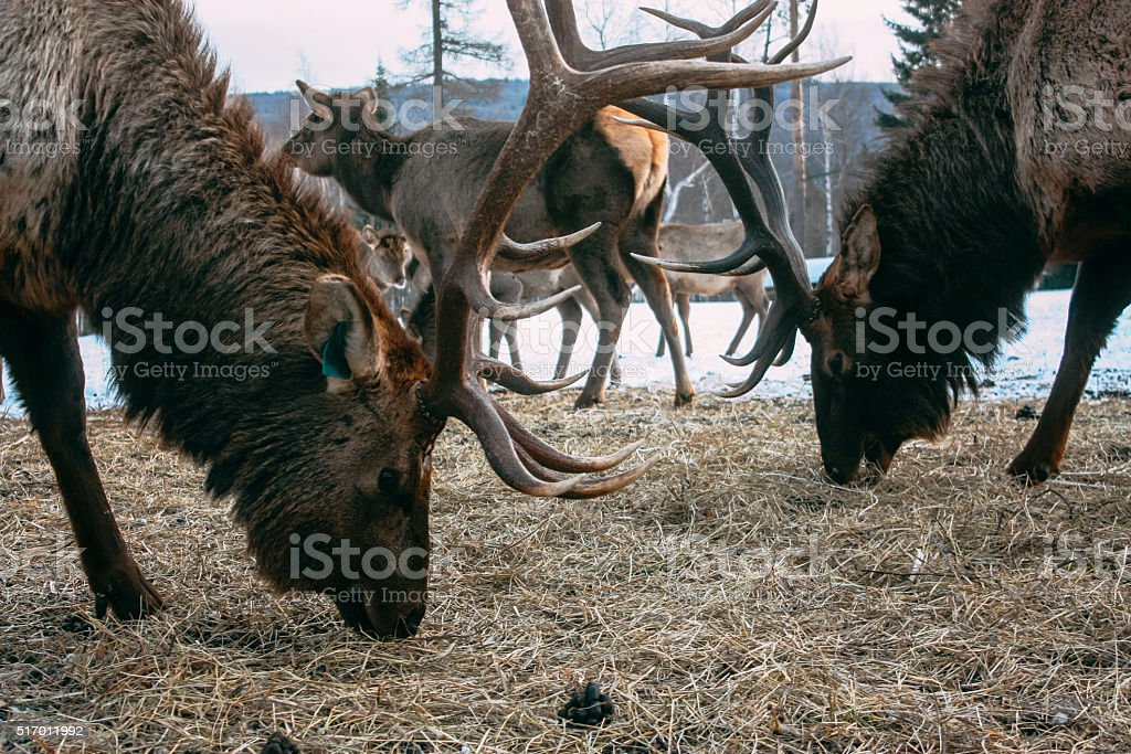Royal red deer buck with antlers stock photo