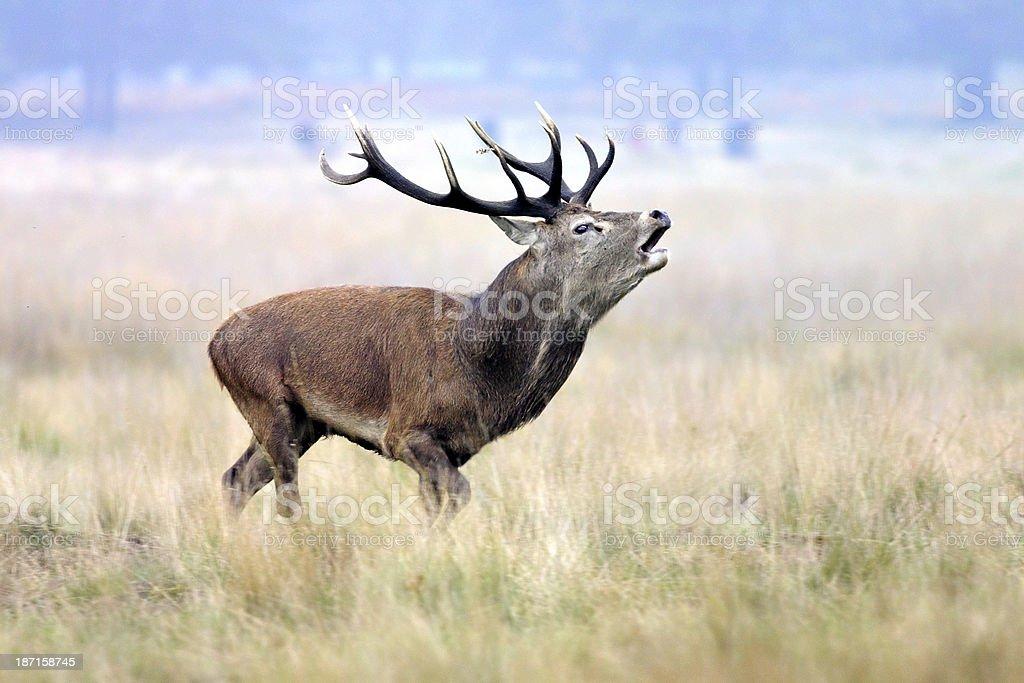 Royal red deer stag Cervus elaphus chasing bachelor stags stock photo