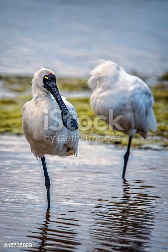 Two spoonbills standing in the water