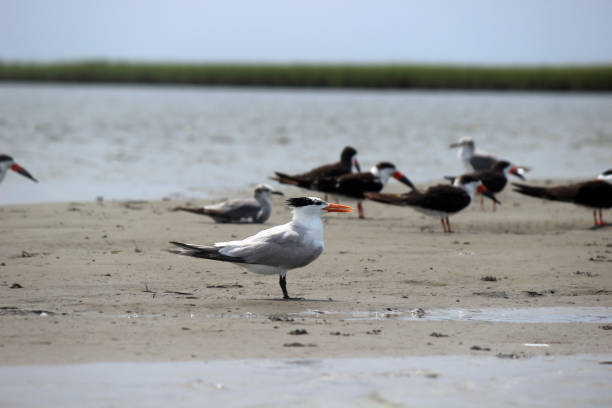 a royal tern bird stands regally on a sandbar - pam schodt stock photos and pictures