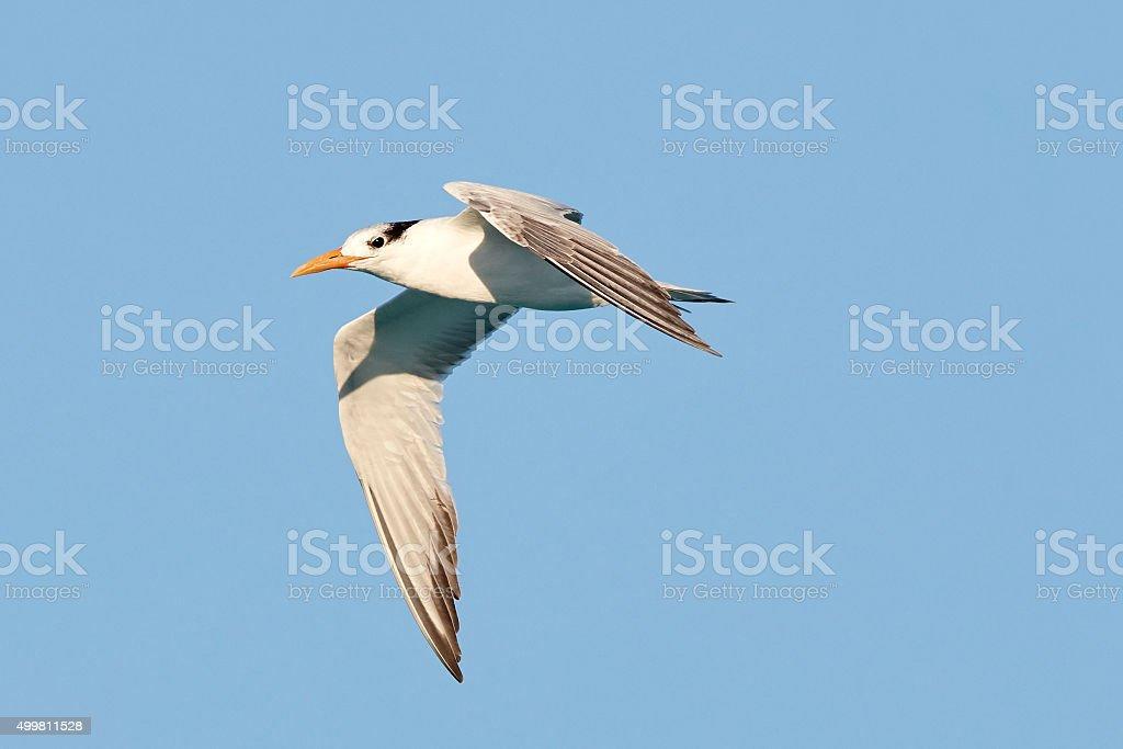 Trinta-réis-real em voo - foto de acervo