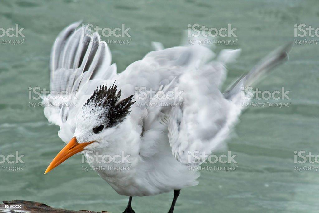 황제제비갈매기 royalty-free 스톡 사진