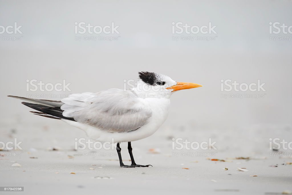 Trinta-réis-real (Thalasseus Maximus) em pé na praia, Flórida, EUA - foto de acervo