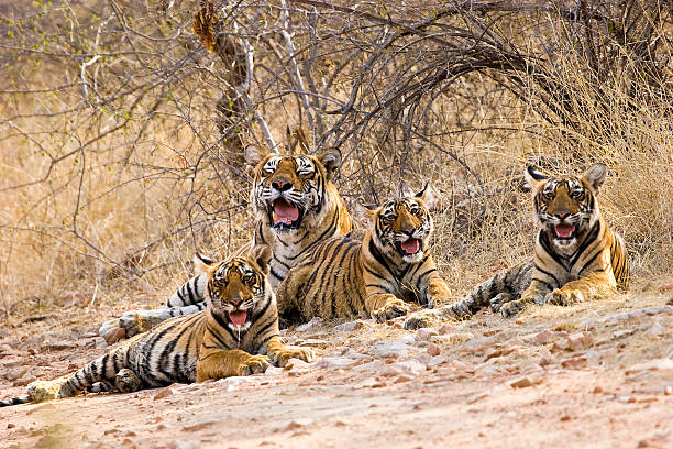 royal tiger family - bengal tiger stock pictures, royalty-free photos & images