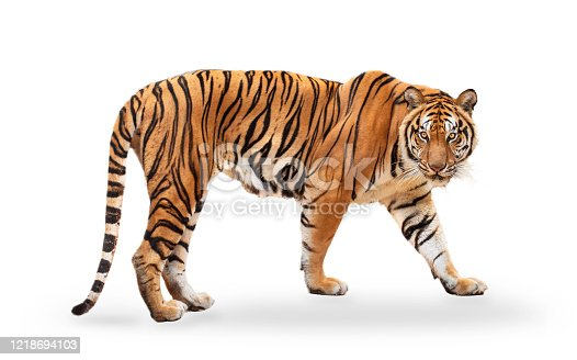 istock royal tiger (P. t. corbetti) isolated on white background clipping path included. The tiger is staring at its prey. Hunter concept. 1218694103