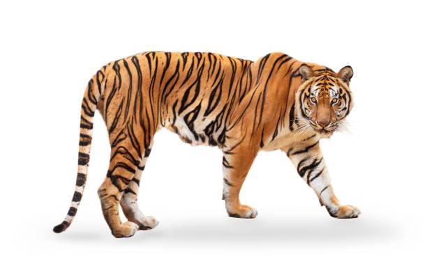 tigre royal (p. t. corbetti) isolé sur le chemin de coupure de fond blanc inclus. le tigre regarde sa proie. concept hunter. - tigre photos et images de collection