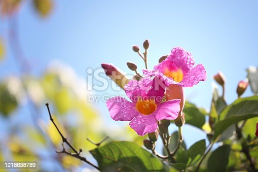 Bright pink and yellow trumpet-shaped flowers with condensation against a blue sky.