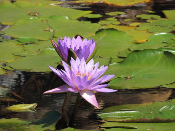 Victoria regia Victory in the water victoria water lily stock pictures, royalty-free photos & images