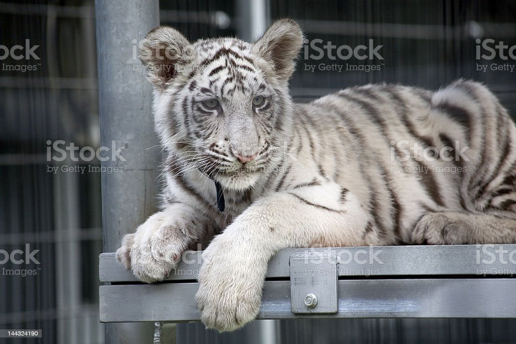 Royal White Bengal Tiger Cub royalty-free stock photo