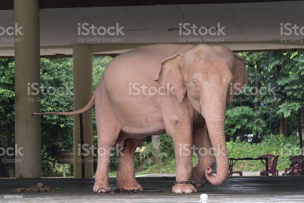 Royal white elephant stock photo