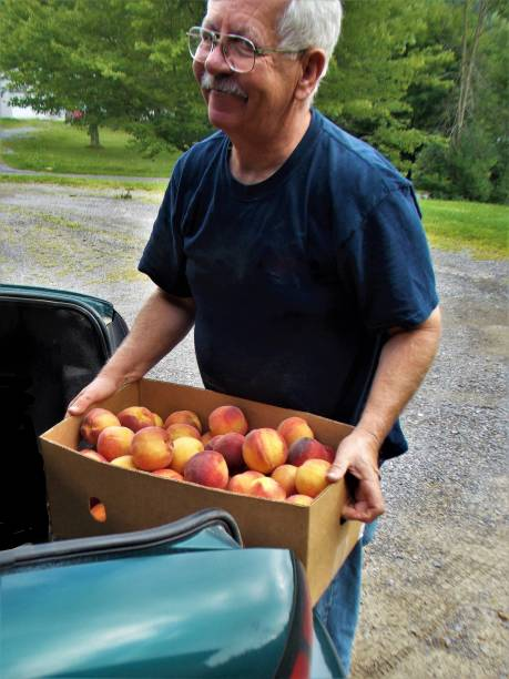 Royalty Free Photograph - Man Unloading a Box of Summer Peaches from his Car - Happy Days when Sweet Peaches Arrive - Older Man Lifts Half Bushel of Chambersburg Peaches from his Car's Trunk - Sweetest Summer Fruit - Delicious Pennsylvania Peaches stock photo