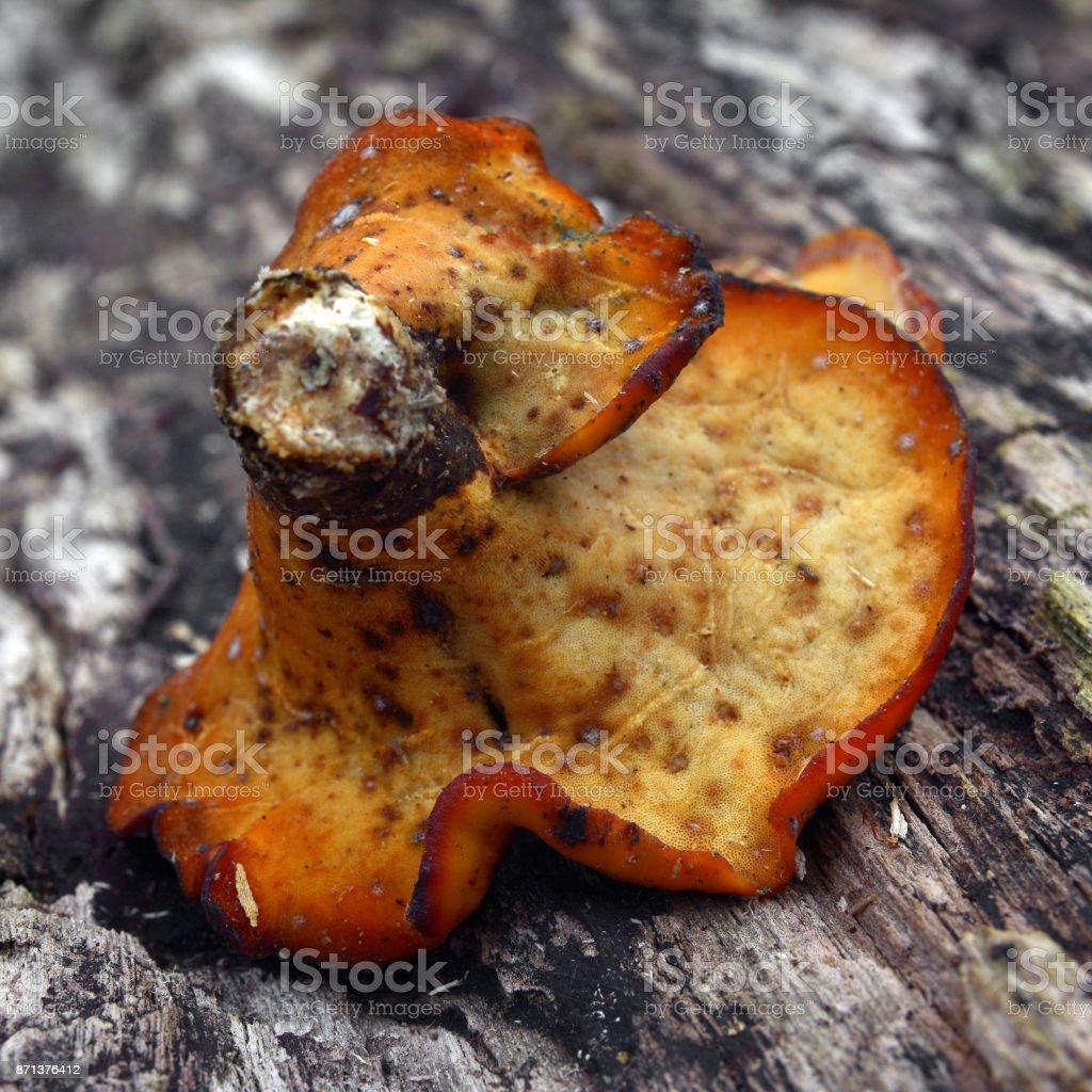royoporus badius mushroom stock photo