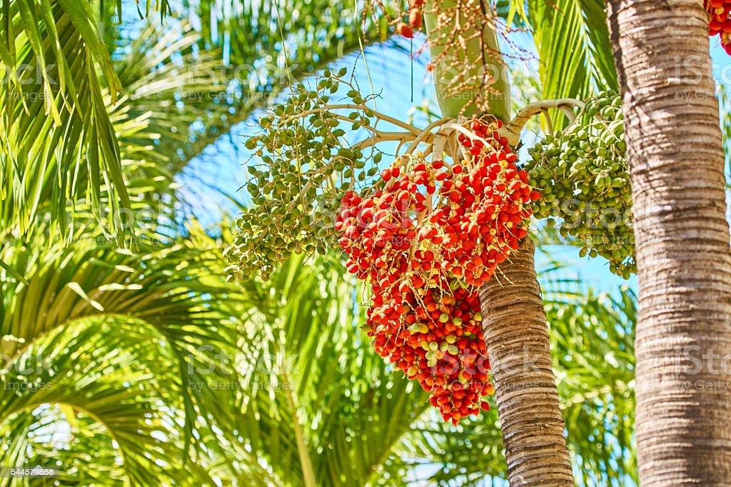 Roystonea regia fruits stock photo