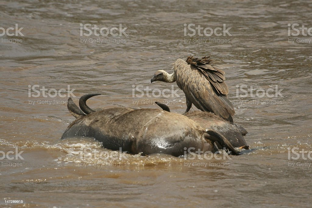 Rüppell's griffon vulture on drowned wildebeest royalty-free stock photo