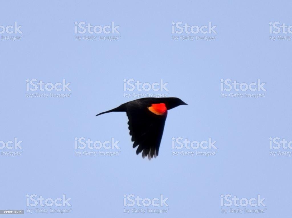 Rred-winged Blackbird in Flight stock photo
