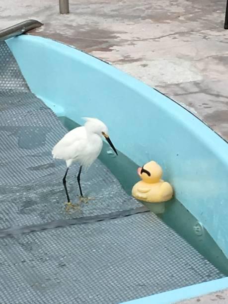 Rubber Duckie Infatuation stock photo