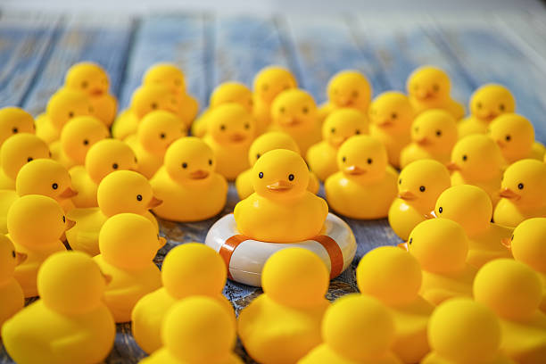 Rubber ducks gathering around a duck on a life ring. stock photo