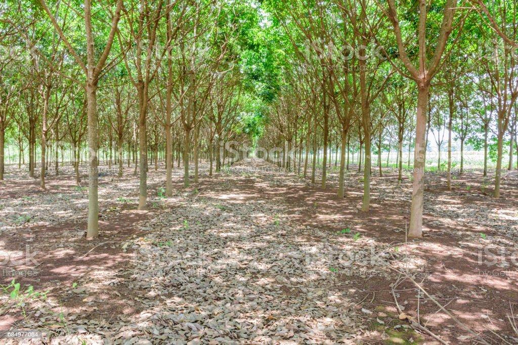 rubber farming stock photo