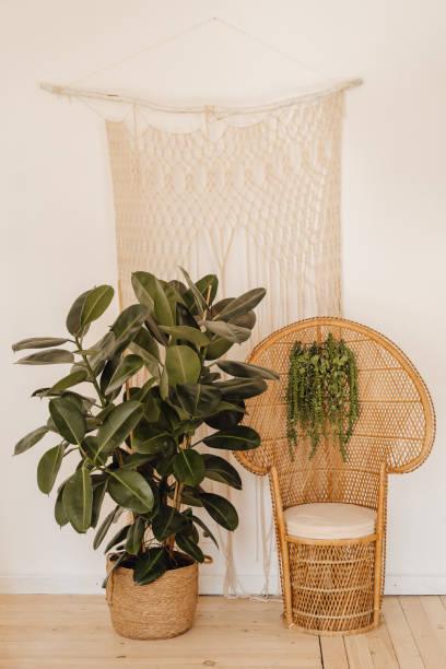 Rubber Fig Plant Wicker Armchair Interior Decor stock photo