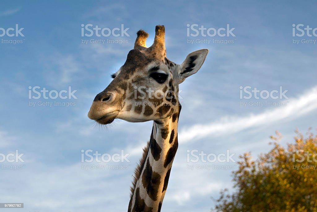 Rubber Necking giraffe royalty-free stock photo