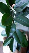 istock Rubber Plant Leaves 1283715225