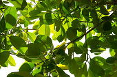 Rubber plant or rubber tree or ficus elastica foliage background
