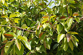 Rubber plant or rubber tree or ficus elastica