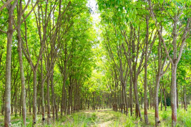 Forêt et plantation de caoutchouc - Photo