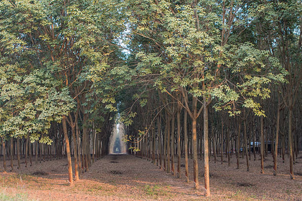 Rubber Plantation in Thailand Rubber plantation near Khon Kaen in Thailand. monoculture stock pictures, royalty-free photos & images