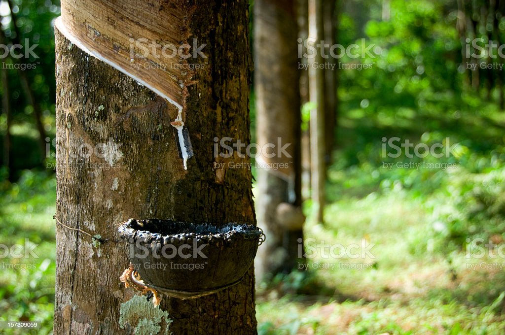 Rubber Tapping Rows stock photo