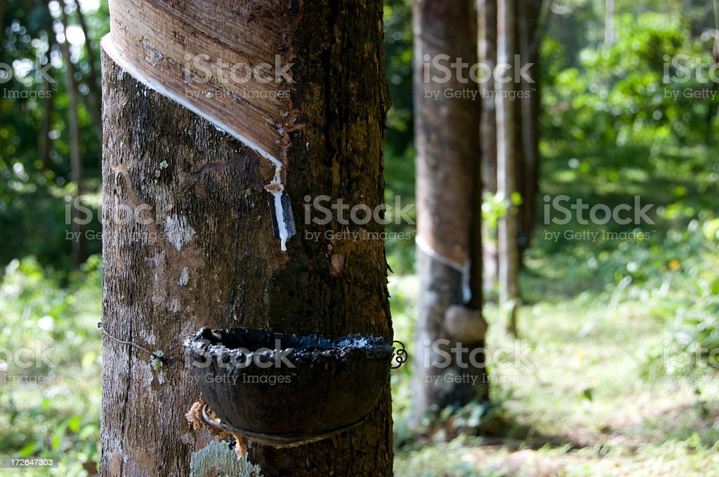 Rubber Tapping Series royalty-free stock photo