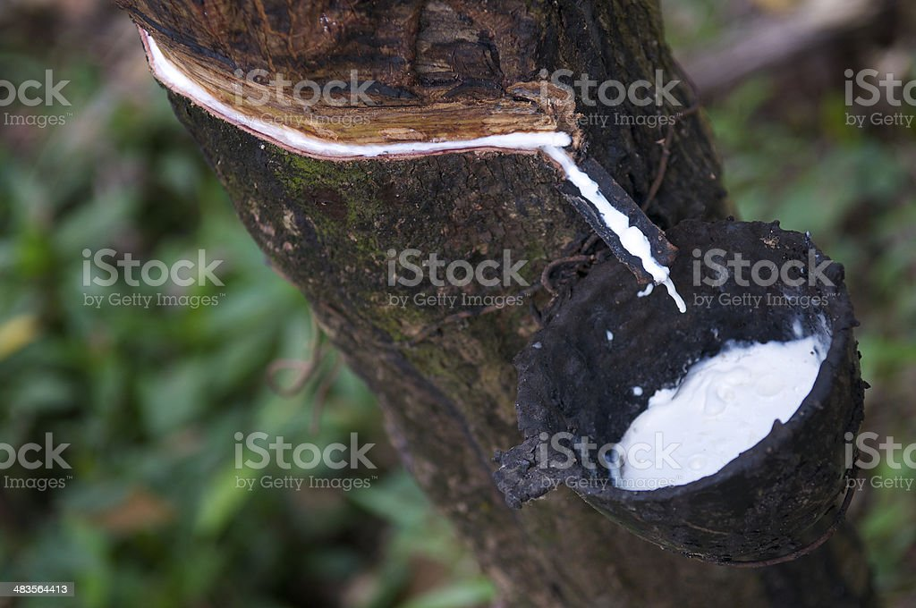 Rubber Tree Close-Up Sap Catcher stock photo