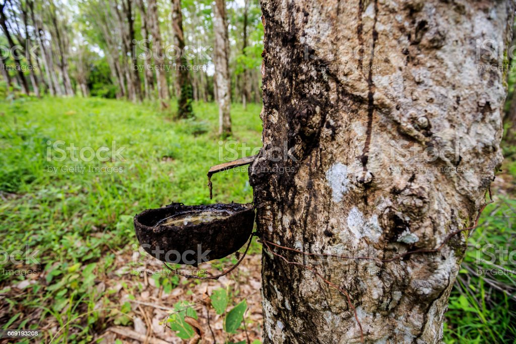 Rubber tree in Southern Thailand stock photo