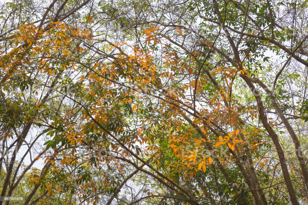 Rubber tree leaves with yellow, Autumn season foto stock royalty-free