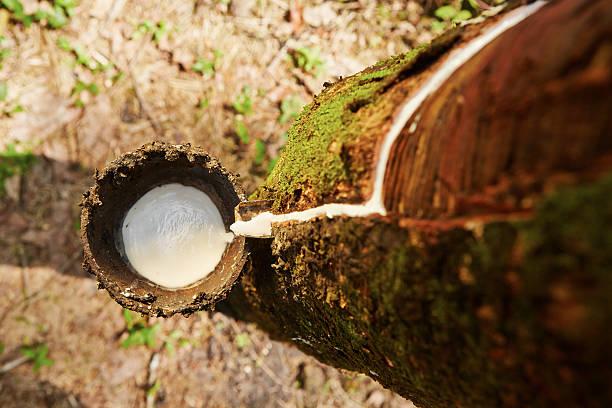 Rubber tree stock photo