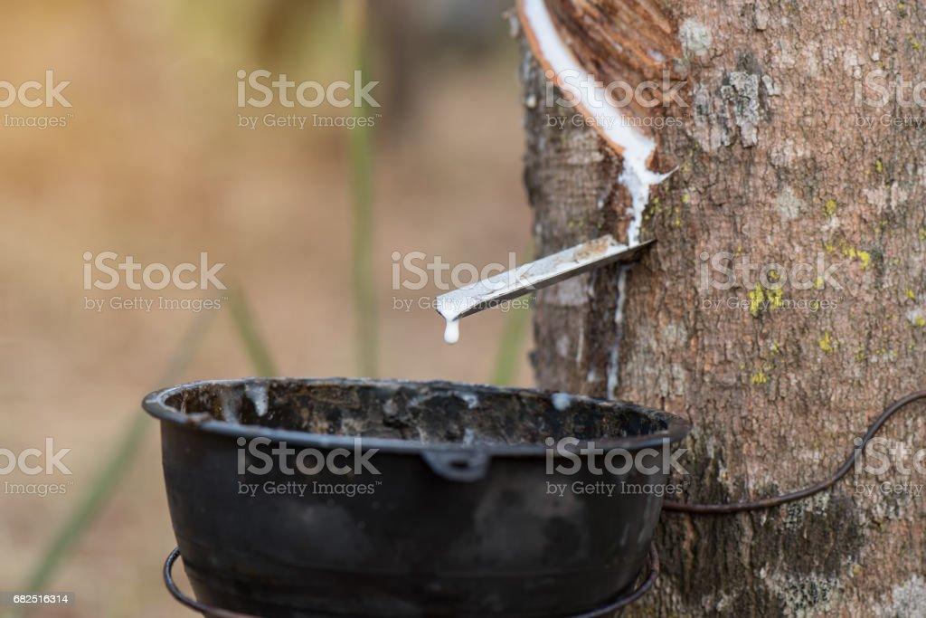 Rubber tree Стоковые фото Стоковая фотография