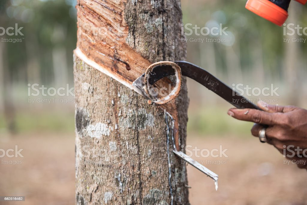 Rubber tree royalty-free stock photo