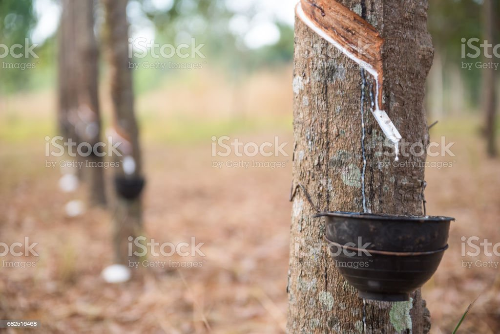 Rubber tree foto stock royalty-free