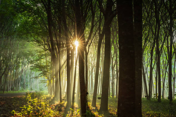 Rubber tree plantation in Thailand, 1 (5) stock photo