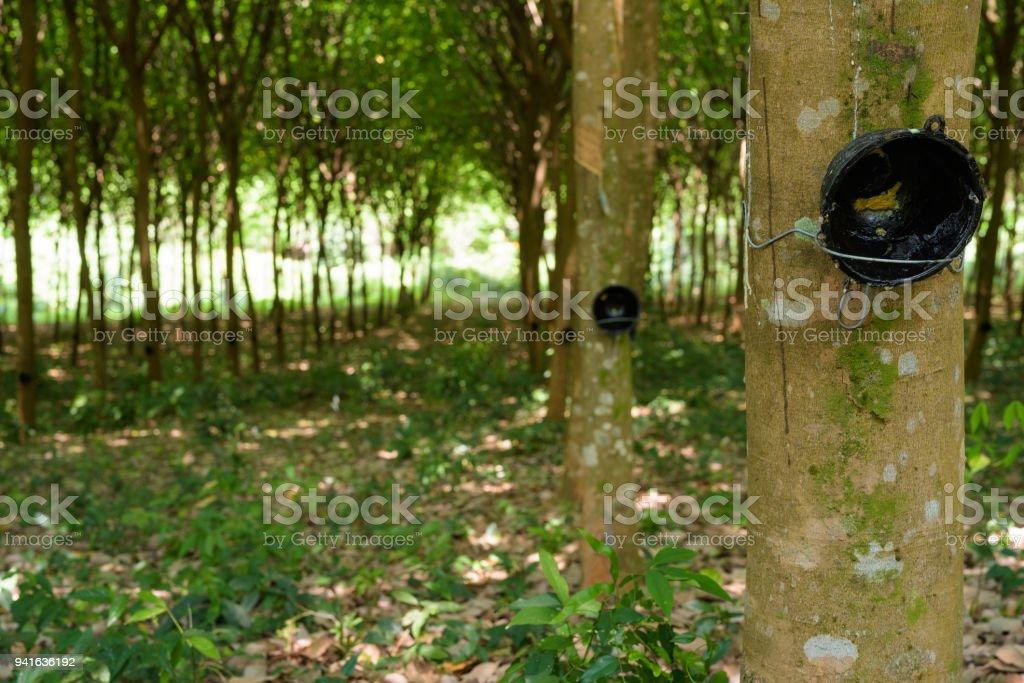 Seringueira Plantation - foto de acervo