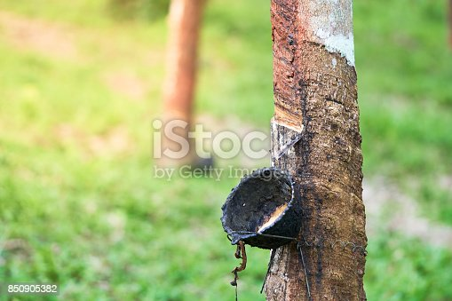 Rubber tree (Hevea brasiliensis) produces latex. By using knife cut at the outer surface of the trunk. Latex like milk Conducted into gloves, condoms, tires, tires and so on.