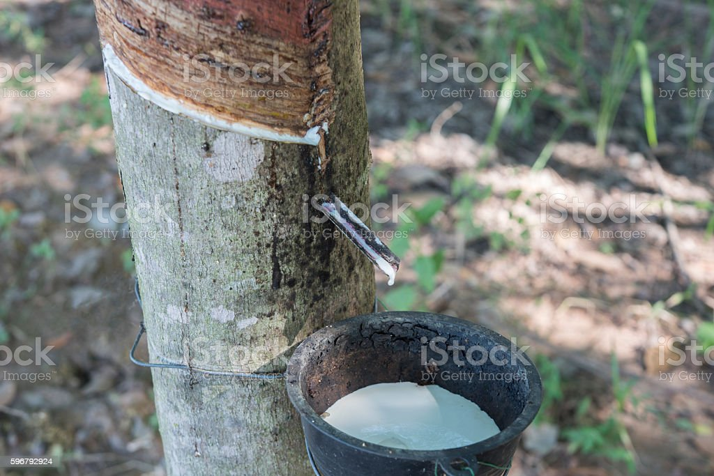 Rubber tree producing latex on plantation stock photo