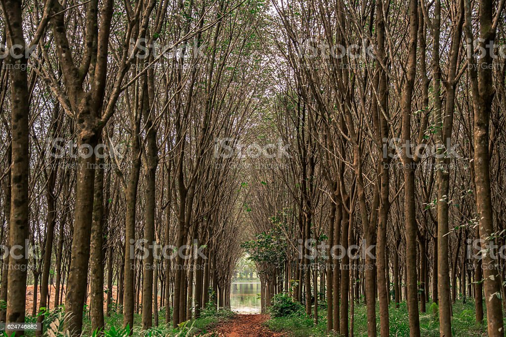 rubber tree , rubber plantation . Beautiful trees line by rubber tree.