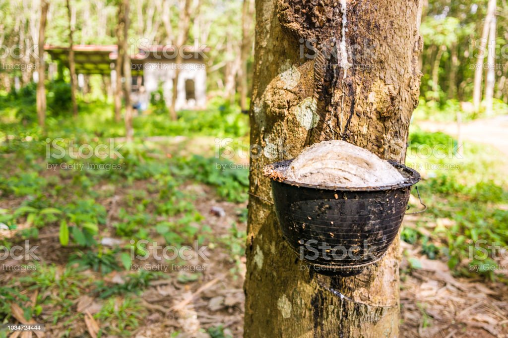 Rubber Tree Tapping Sap Stock Photo Download Image Now Istock