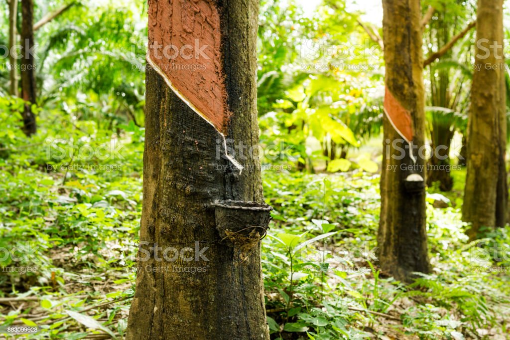 Rubber Tree (Hevea brasiliensis) Tapping Sap stock photo