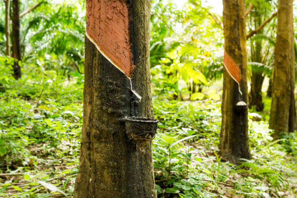 rubber tree (hevea brasiliensis) tapping sap - latex stock pictures, royalty-free photos & images