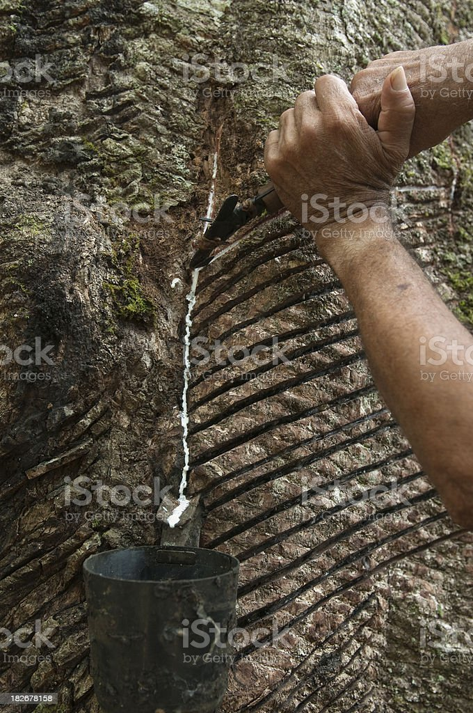 Rubber tree trunk track royalty-free stock photo